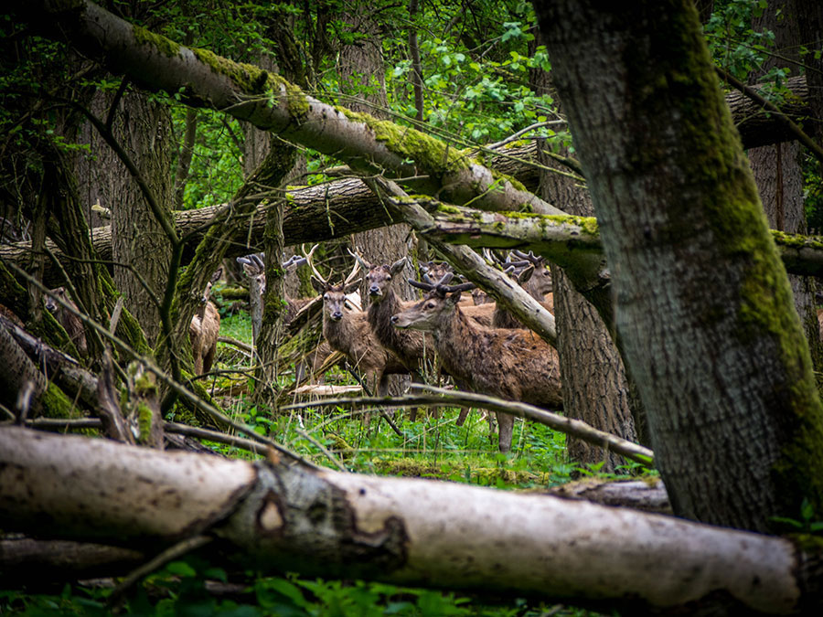 Oostvaadersplassen : cerf élaphe